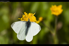 [65/365] White Butterfly (Cdric A. Photographie ) Tags: old 3 france macro fall photoshop automne canon butterfly season eos flickr days fave papillon l plugin 365 usm arbre 70200 ef f4 feuille lightroom projet vaucluse branche 1day beaux saison jours chaleur carpentras traitement 50d project365 1photo colorefexpro ef70200mmf4lusm