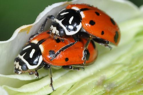 Mating Convergent Ladybugs