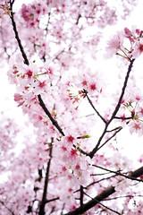 Cherry Blossom (Fabienne Lin) Tags: life pink flowers nature flora cherryblossom sakura taipei lovely yangminshan gf2