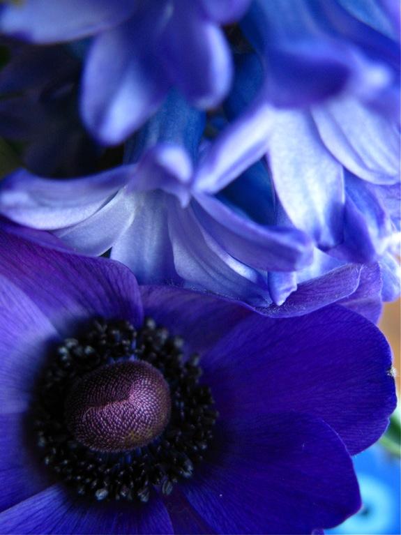tulip hyacinth anemone flowers 007