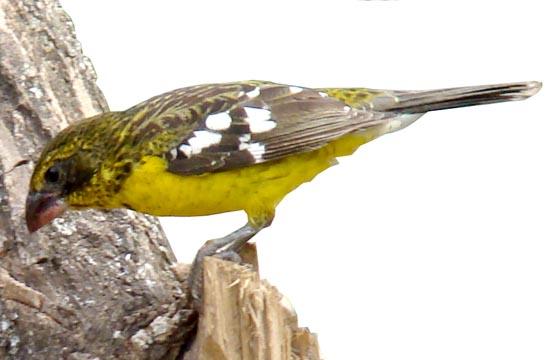 Crotophaga_amarillo