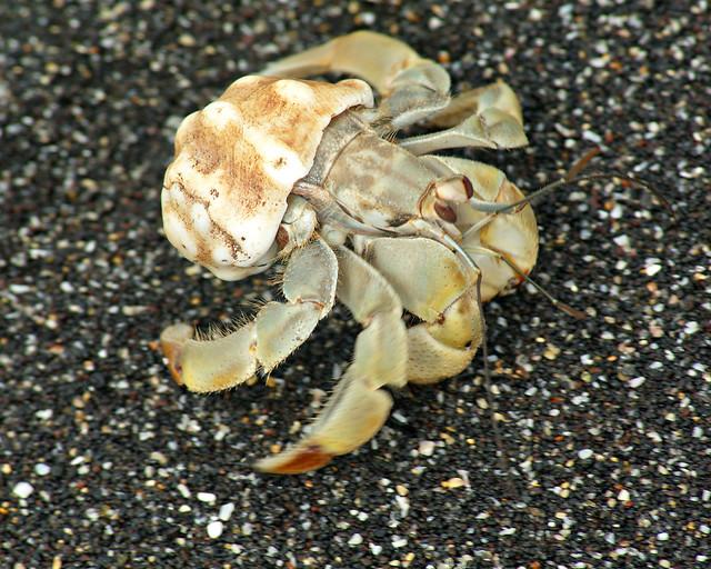Hermit crab, Isabela Island