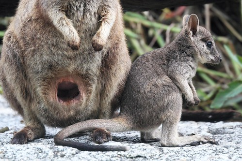 Wallaby Pouch Rock Wallaby pouch  amp Joey