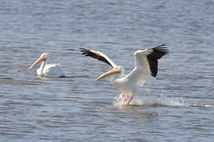 White Pelican Photo