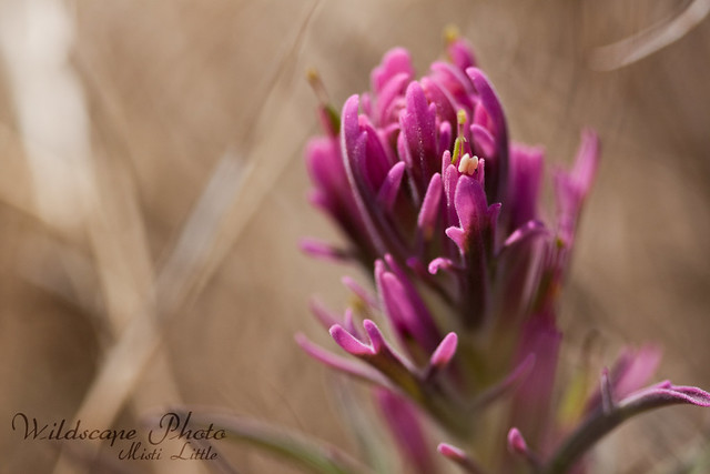 purple indian paintbrush