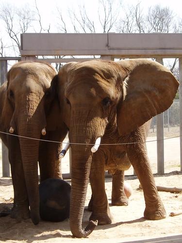 Elephants, Nashville Zoo