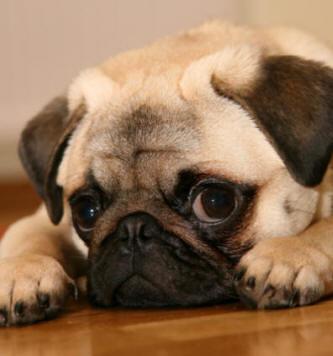 foto de perro carlinos: