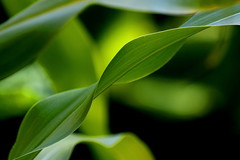 cornwave (LightTherapist) Tags: plant green garden leaf corn wave mais crop maize maissi