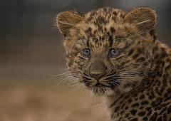 Nekama`s blue eyes (Blitzknips) Tags: cat tiere leopard bigcat katze tierpark katzen tierparkberlin coth specanimal flickrbigcats wildcatworld