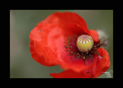Poppy the color by ** 5 9 5 0 3 6 **