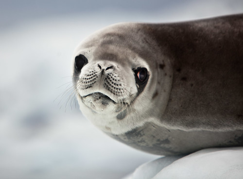 Who's A Cute Weddell Seal?