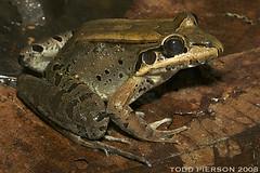 Leptodactylus guianensis: Guianan Thin-toed Frog (Todd W Pierson) Tags: amphibian guyana frog todd pierson anura amphibia leptodactylidae anuran leptodactylus bolivianus leptodactylusbolivianus toddpierson