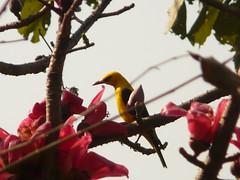 P1150673 (babsybou) Tags: travel india birds silent watching kerala du valley yatra sud inde attapadi birdswatching babsybou malleeshwaramjunglelodge pettickal