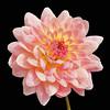 A splash of colour to lift my spirits (Aussie Shutterbug) Tags: pink flower yellow 35faves mygearandme mygearandmepremium
