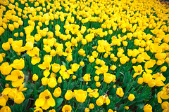 yellow tulip bed (shupianxm) Tags: birthday holiday plant flower color green texture love nature floral beautiful beauty field saint yellow garden easter season march leaf spring stem day bright blossom head many anniversary vibrant background group decoration large s valentine romance petal foliage celebration event gift tulip surprise present bunch bouquet bud date stalk flirtining