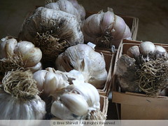 "Garlic From A Connecticut CSA • <a style=""font-size:0.8em;"" href=""http://www.flickr.com/photos/52093939@N07/5578370674/"" target=""_blank"">View on Flickr</a>"