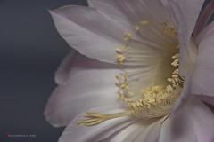 Kraljica noi (kadriraj.me) Tags: wwwkadrirajme cvijet flower kaktus cactus priroda nature kraljicanoi queenofthenight nikon d3s sigma 40056apotelemacro kenko makroprsten extensiontube 36mm bljeskalica flash sb900 2016 kadrirajme robertospudi