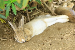 image (Rubia.A) Tags:     rabbit rabbitisland okunoisland japan hiroshima