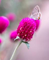 Flowers and butterfly (shinichiro*) Tags: longtailedblue  20161007sdim4627 2016 crazyshin sigmasd1merrill sd1m sigma1835mmf18dchsm october autumn fuji yokohama kanagawa japan jp flower macro butterfly