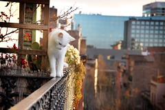 Noella - Neighbor's cat [Explored] (feradz) Tags: white cute blanco danger cat walking kitten view balance railing gatto beyaz kedi