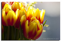 TULIPS WITH BOKEH ( explored #93 ) (vicki127.) Tags: red yellow canon300d bokeh fa sigma70300 digitalcameraclub absolutelyperfect youmademyday platinumphoto citrit elitephotography thisphotorocks march2011 wonderfulworldofflowers tulipsmacro 100commentgroup hairygitselite adobephotoshopcs5 ringofexcellence vickiburrows vicki127 imagesofart
