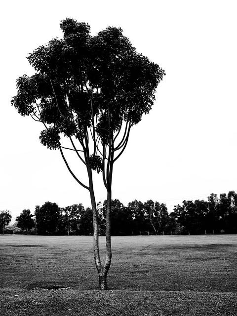 IMG_1506 树,黑白,tree ,black and white