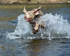 Playing in the river (woodfordp) Tags: dog pet playing wet water swimming river weimar droplets nikon walk running vale weimaraner eden splash dslr carlisle gundog weim fastshutterspeed frozenintime d3s flickrunitedaward bestofblinkwinners namedaftervalentinorossi dogrunningthroughwater highqualitydogs blinkagainfoundinsecondchancethread