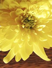 6\10 (DLo3t 2boha) Tags: yellow canon ورد شروق اصفر كانون canong11 كانونجي11 صباحكاصفر ورداضفر