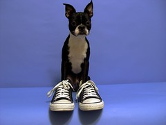"Mar 31 2011 [Day 150] ""One Of My Best Friends Part 3, Jack-Jack"" (James_Seattle) Tags: dog boston jack bostonterrier march cybershot 365 k9 year1 dscf717 2011 converseshoes sonycybershotdscf717 jamesseattle"