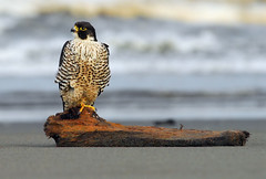 Watching the World Go By (Deby Dixon) Tags: beach nature water photography coast sand nikon waves wildlife pacificocean raptor falcon deby avian allrightsreserved birdofprey 2010 peregrine debydixon debydixonphotography pealesfalcon