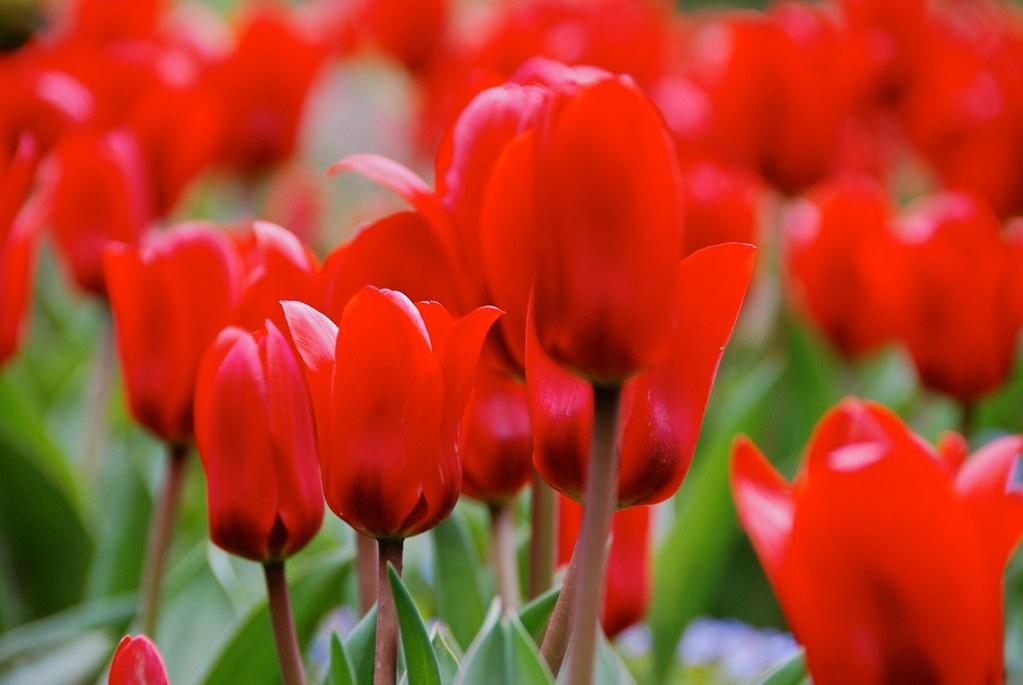 {Butchart Gardnes} Tulips!