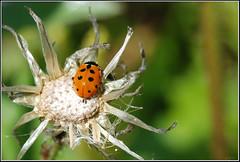 Hippodamia variegata -    (Eran Finkle) Tags: macro closeup ladybird ladybug ladybeetle larva coccinellidae  raynoxdcr250 hippodamiavariegata variegatedladybeetle    nikon2880mmf3356g    eranfinkle    13