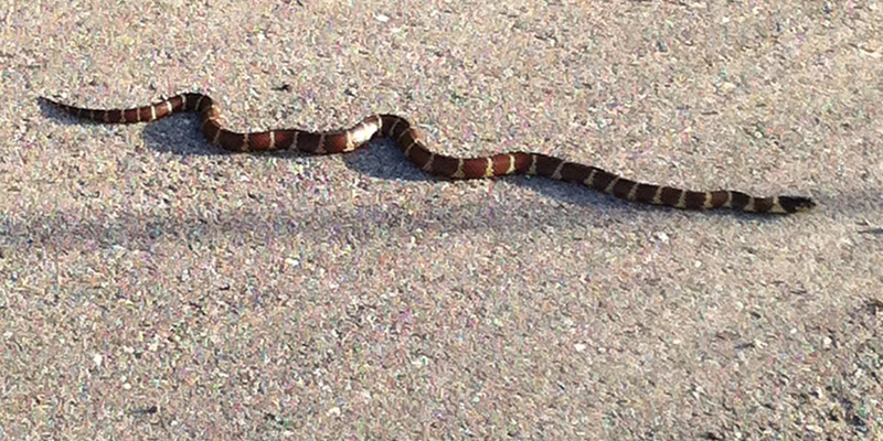 California Kingsnake?