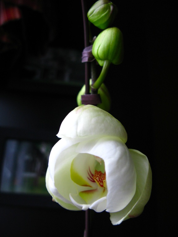 white phalaenopsis orchid bloom 002