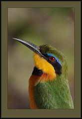 Little Bee-eater (Merops pusillus cyanostictus) (Rainbirder) Tags: bird nature ngc headshot littlebeeeater meropspusillus specanimal africanbird colorphotoaward avianexcellence meropspusilluscyanostictus