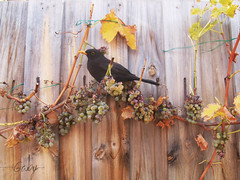 Bird (Gaby Guardado - Navas) Tags: autumn black bird grape