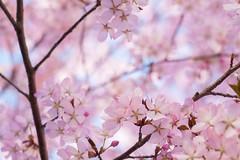 (*m22) Tags: blue plants tree pflanzen rosa  cherryblossom sakura baum auerbach kirschblten