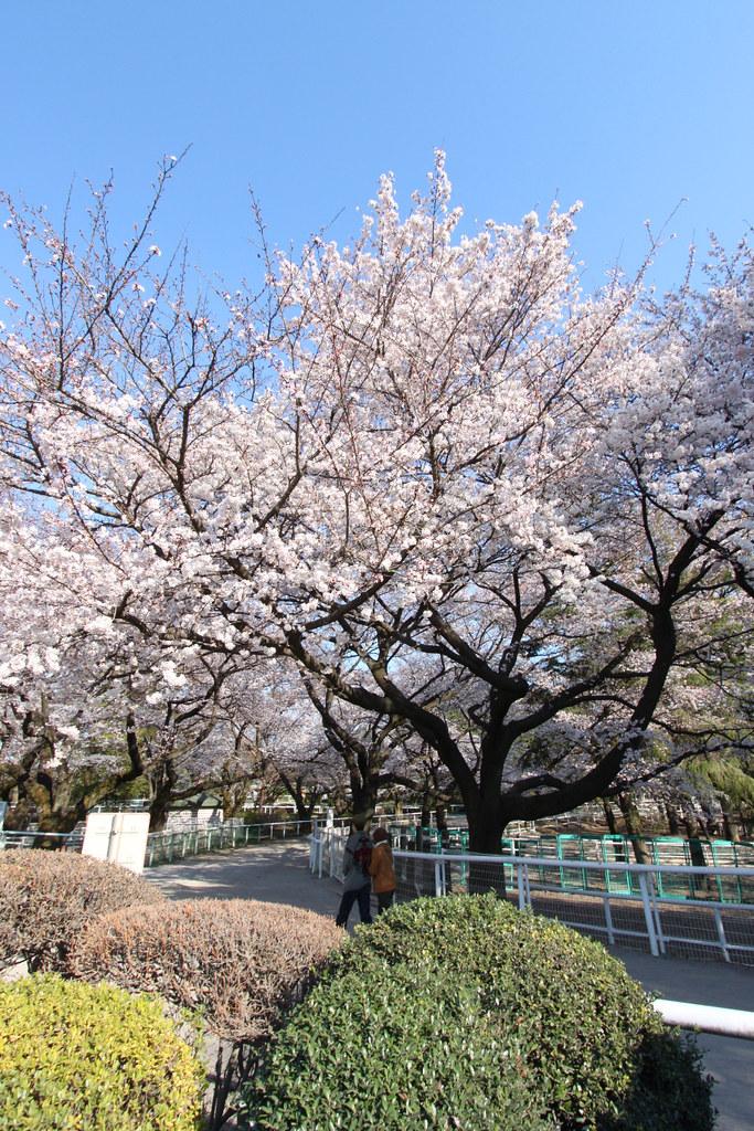 Sakura Photo 2011Bajikouen (13)