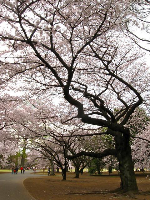 新宿御苑の桜のフリー写真素材