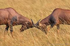 Fight (Jeluba) Tags: africa nature animal canon fight kenya wildlife afrique masaimara