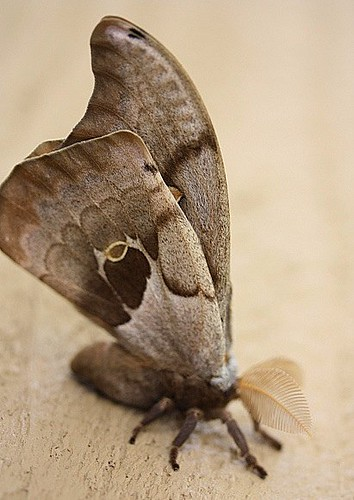 March2011 Male Polyphemus Moth