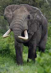 Big Ngorogoro Tusker