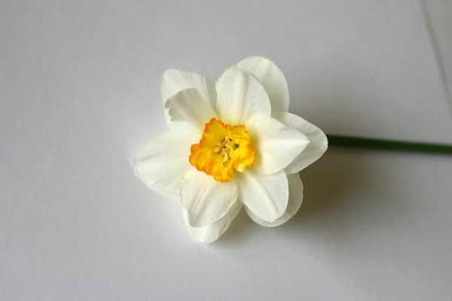 Narcissus 1