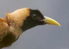 Red bird of paradise (gentle lemur) Tags: chesterzoo redbirdofparadise paradisearubra
