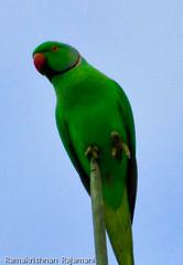 Parrot #1 (ramsfotobites - my experiments with light) Tags: wild bird nature birds fauna 1 nikon natural birding parrot photowalk nikkor avian avifauna untamed birdphotography d90 madrasday avianfauna