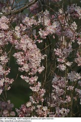2011-04-14 0545 Sakura, Prunus serrulata, the weeping cherry tree blossoms (Badger 23 / jezevec) Tags: park pink flowers flower tree cherry spring blossom indianapolis blossoms indiana anh bloom  flowering sakura blooms holliday weeping hoa blooming prunus cerezo weepingcherry    kirschblte   jezevec cvijet serrulata shidarezakura prunusserrulata o krsbr   cseresznyevirg japanskt  hoaanho kirsuberjatr badger23 namumulaklak  trenjin    seresang trenjincvijet