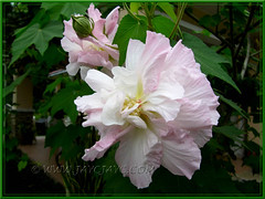 Gorgeous Hibiscus mutabilis (Confederate Rose, Cotton Rose), a double flower form