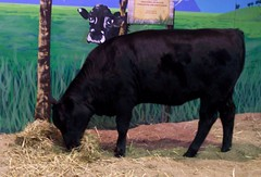 2011 Sydney Royal Easter Show: animals  6 (dominotic) Tags: animal animals rural cow sheep farm sydney llama goat australia bull nsw newsouthwales produce steer agriculture ras homebush theshow artsandcrafts eastershow sydneyroyaleastershow lifestock agriculturalshow citymeetscountry