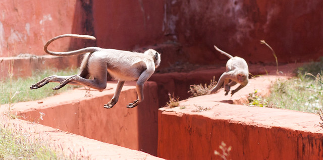 Flying Monkey at Jaigarh Fort