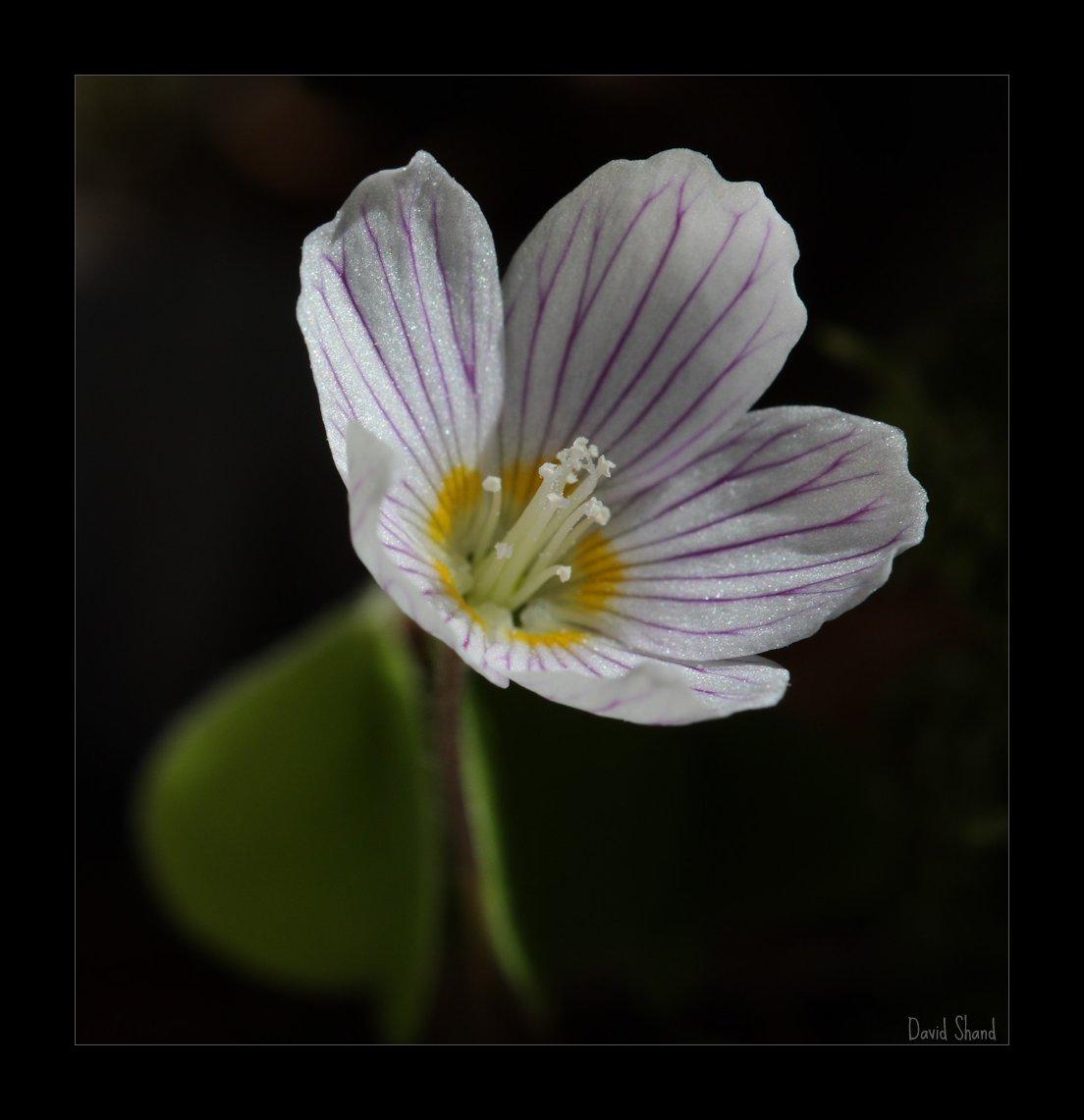 Wood-sorrel, Oxalis acetasella
